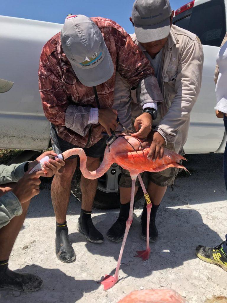 conanp-mexico-flamingos-rastreadores-sustentur-fundación-pedro-y-elene-hernández-caribe-flamencos