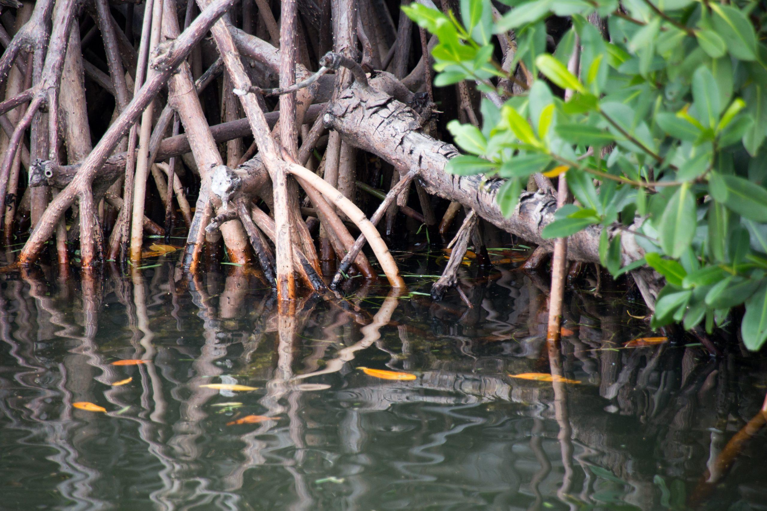 conservación de manglares